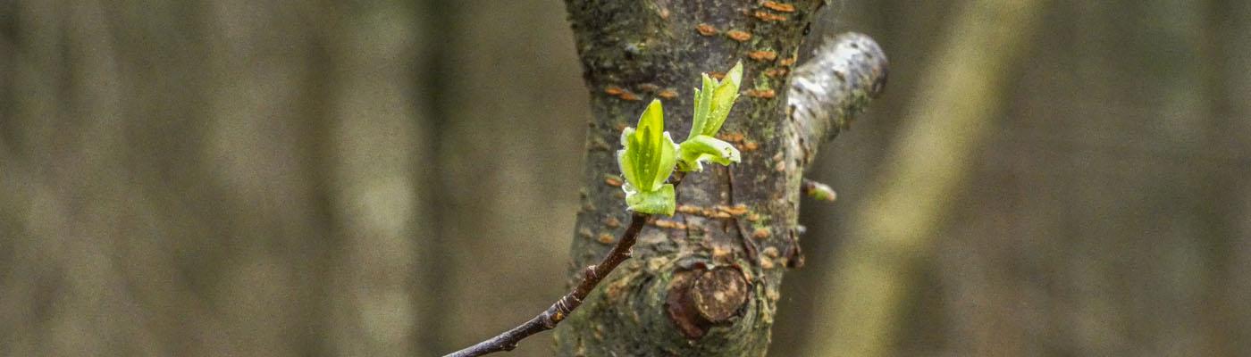 neu gesprossenen Blätter vor einem jungen Baum